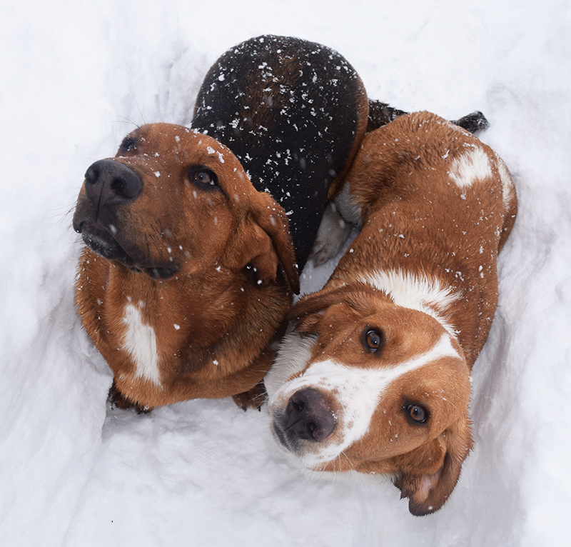 Basset Hound Puppies - Courage and Cricket in the snow
