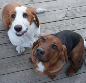 Samson and Cricket - Basset Hound Puppies