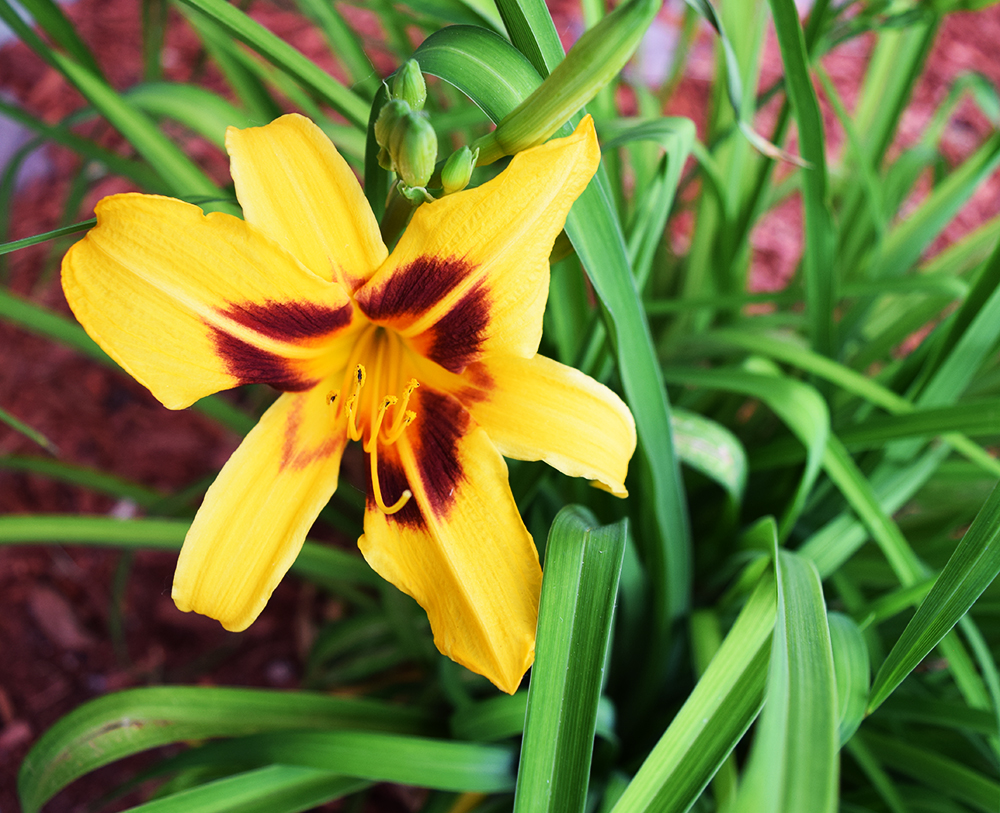daylily in our garden