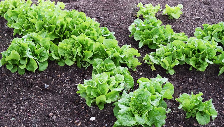 lettuce in our family garden