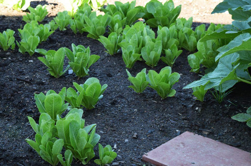 romaine lettuce in our garden