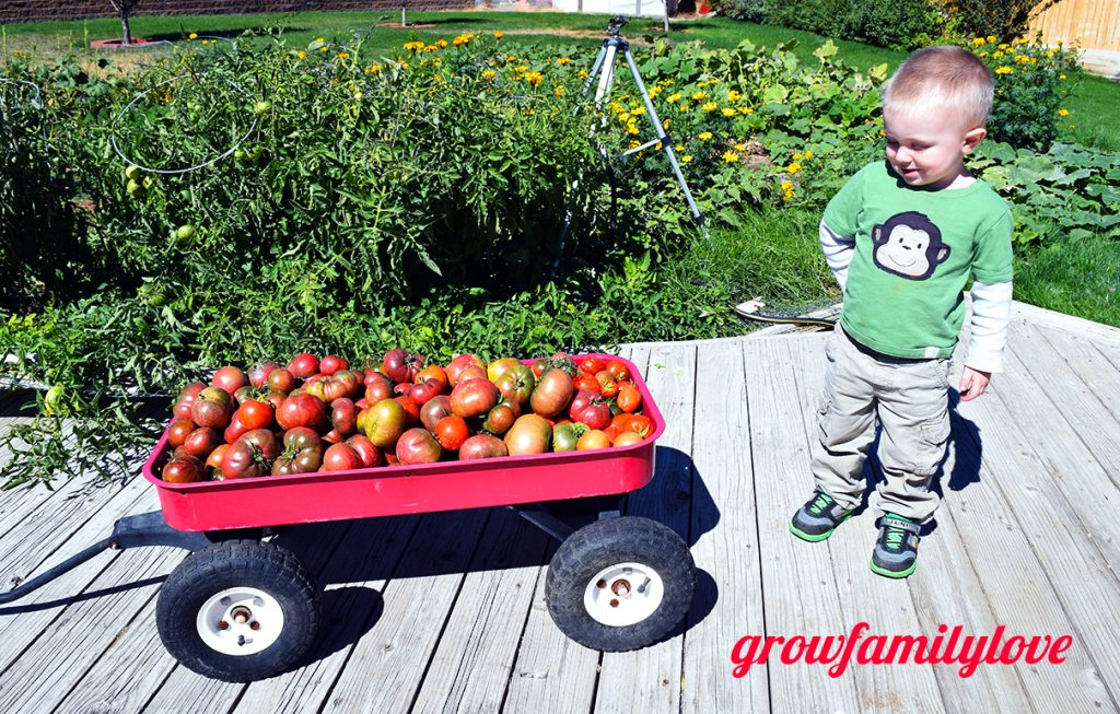 Tomato Harvest with Toddler